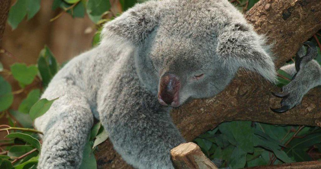 眠りコアラ